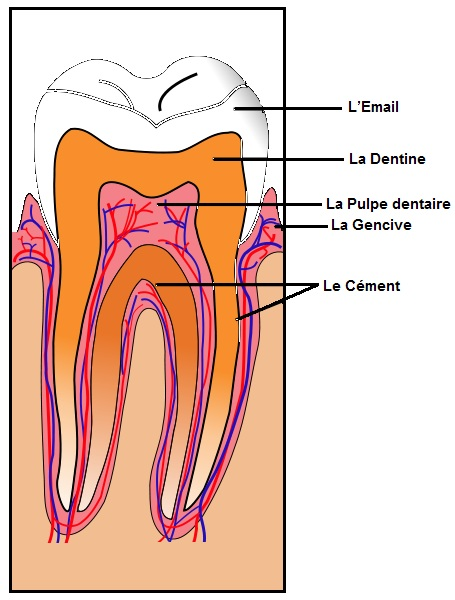 L-anatomie-de-la-dent
